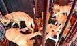 중복 D-1, 판매 기다리는 개들