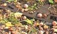 '가을 불청객' 은행나무 악취와의 전쟁
