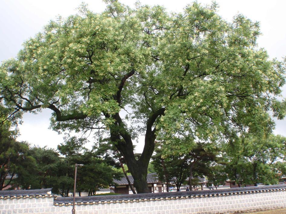 회화나무 - 팽나무와 괴화 그리고 매미소리