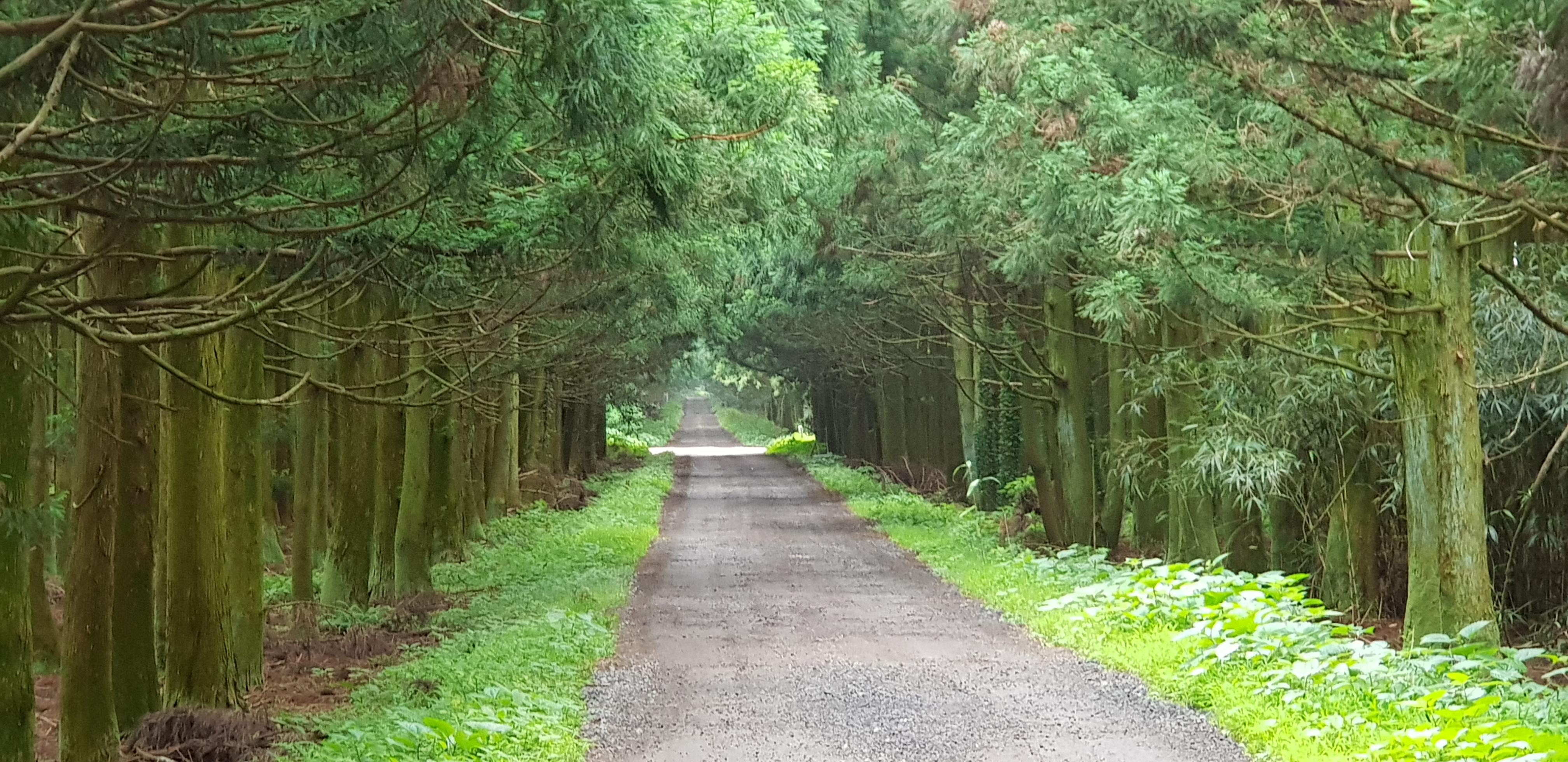 쭉 뻗은 삼나무 숲길을 걸었습니다 - 송당 민오름...