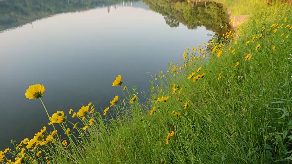 호수와 금계국