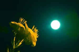 그리움에 앉다 - 꽃 - 달맞이꽃