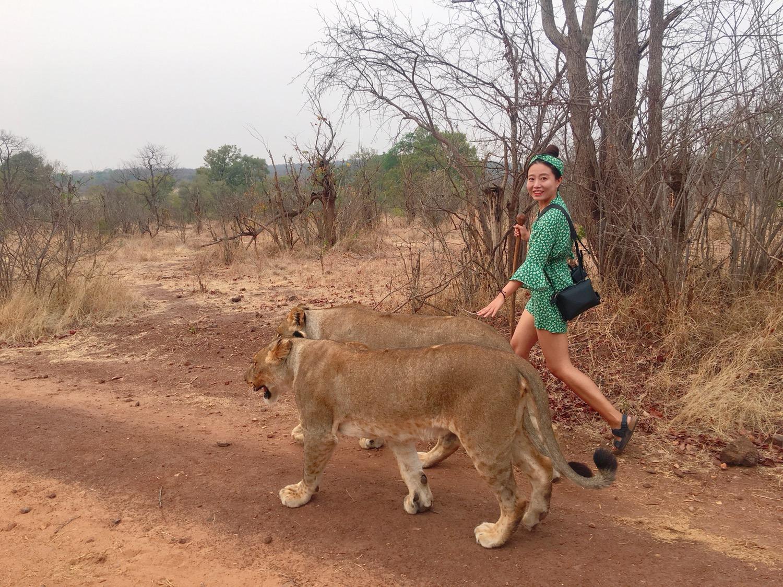 세상에서 가장 무서운 산책, 야생 사자와 걷기 - ...