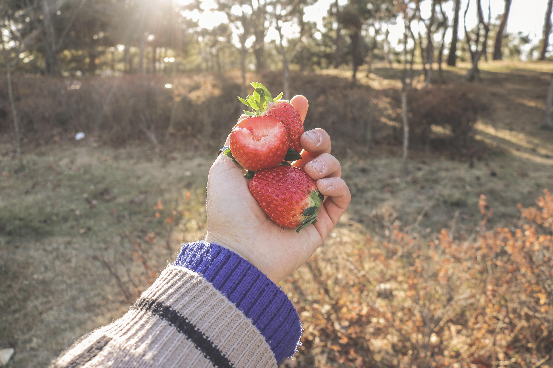 딸기, 눈 속의 봄