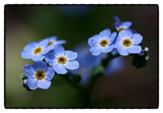 그리운 꽃의 書-1-물망초