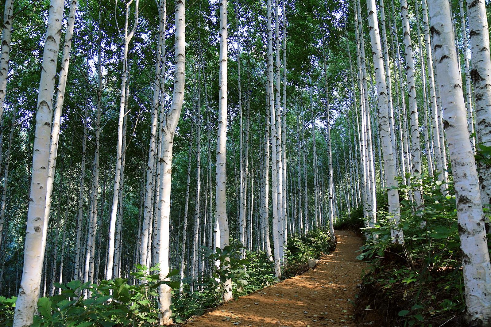 자작나무 숲길따라 인제의 가을 속으로 - [기자가 ...