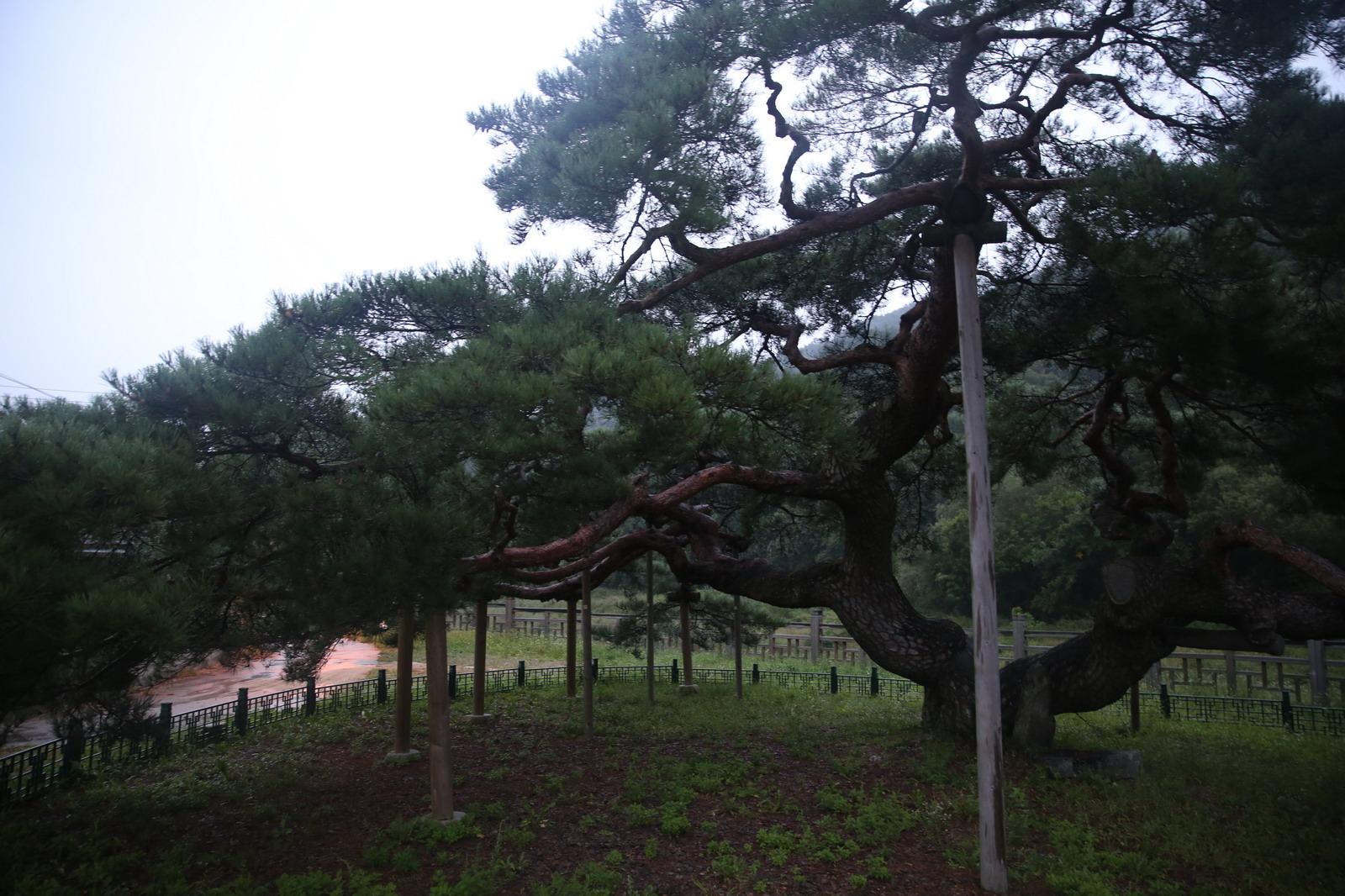 늘 푸른 나무 - 문경 천연기념물 대하리 소나무