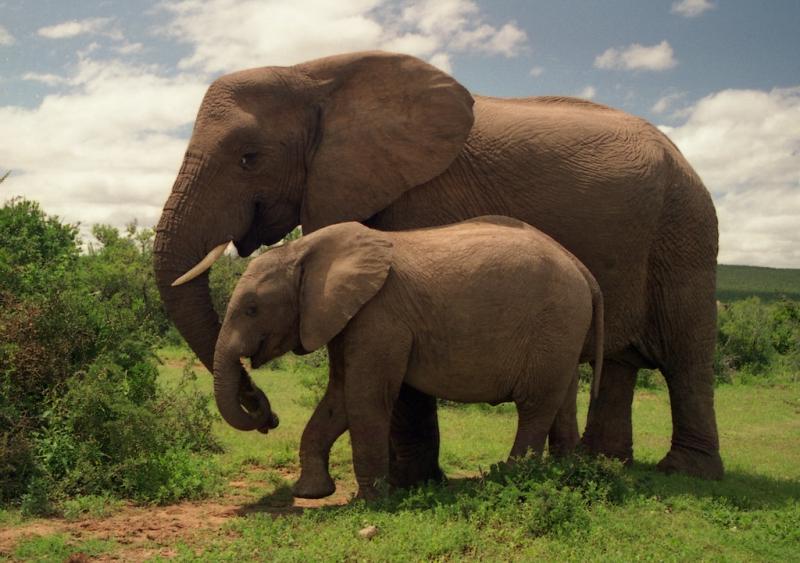 육지의 거인, 코끼리가 멸종 위기에 처하다 - 코끼...