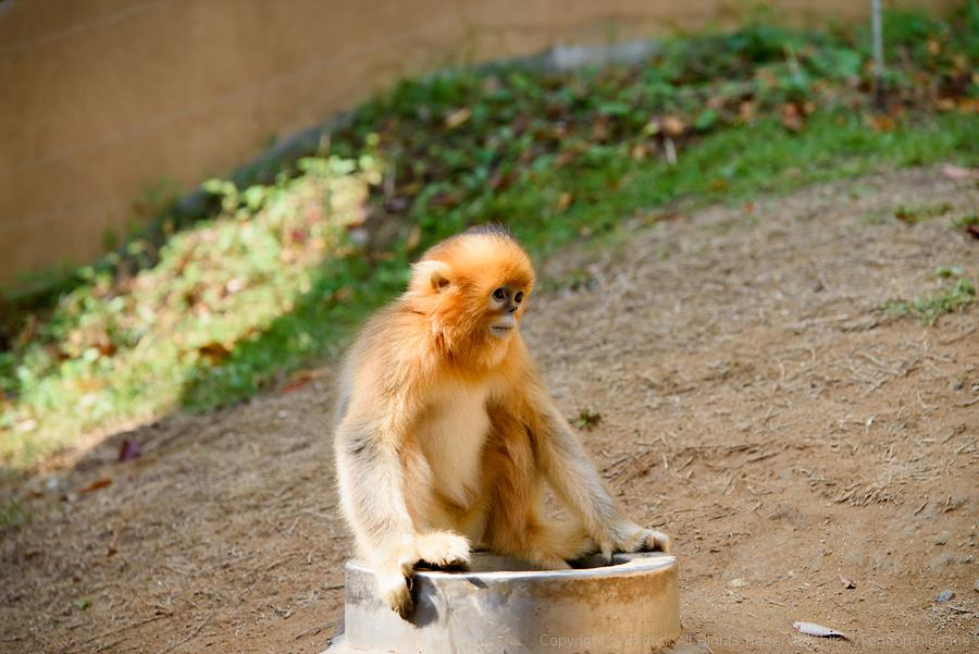 아기 황금원숭이 '대운'이를 아시나요? - 26 - ...