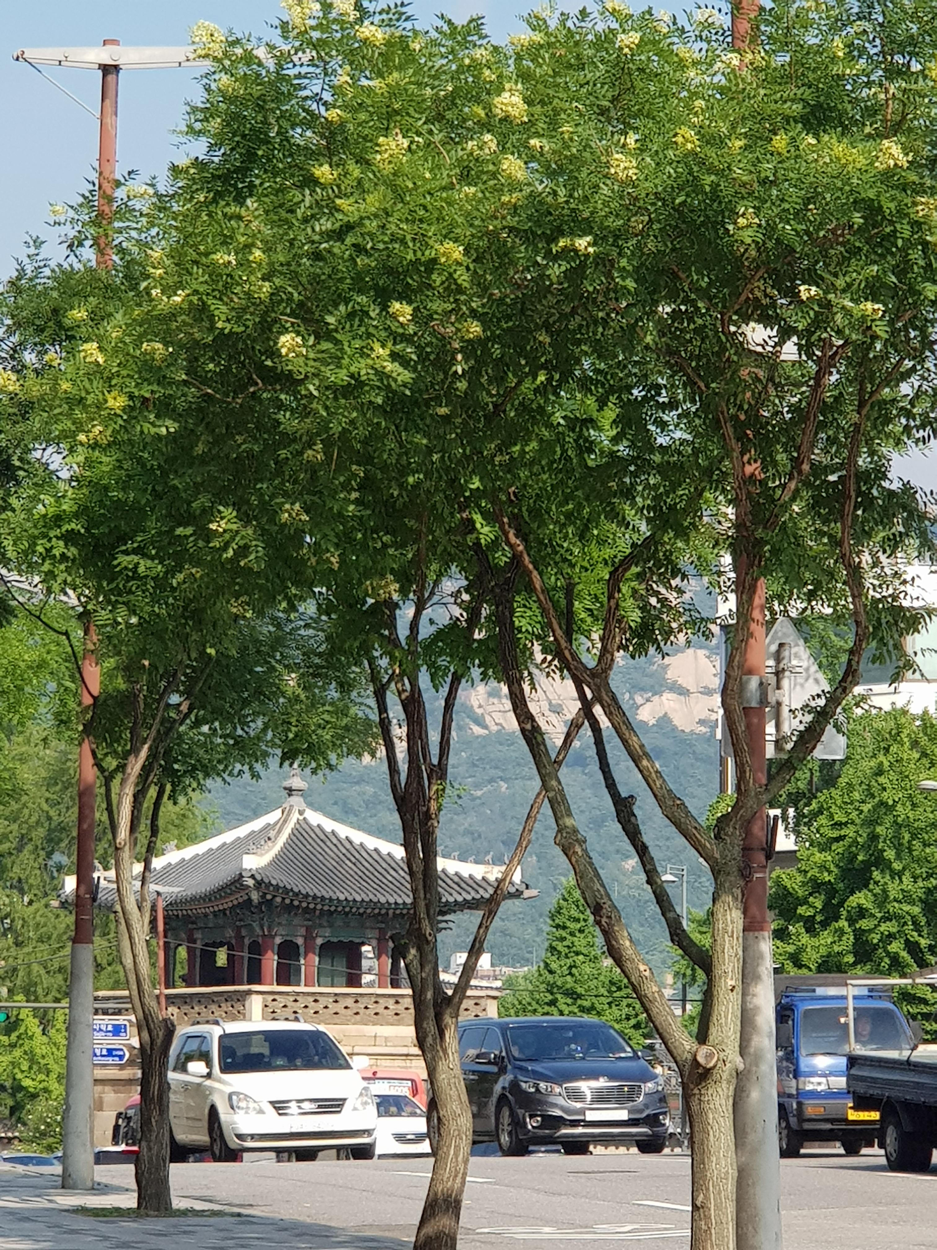 백운이 인왕을 깨우고 - 회화나무, 도심