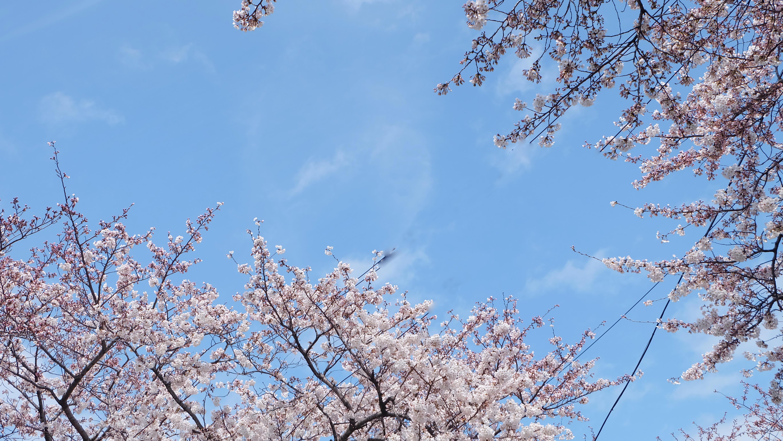 벚꽃의 향연이 펼쳐지는 봄 - 왕벚나무의 자생지, ...