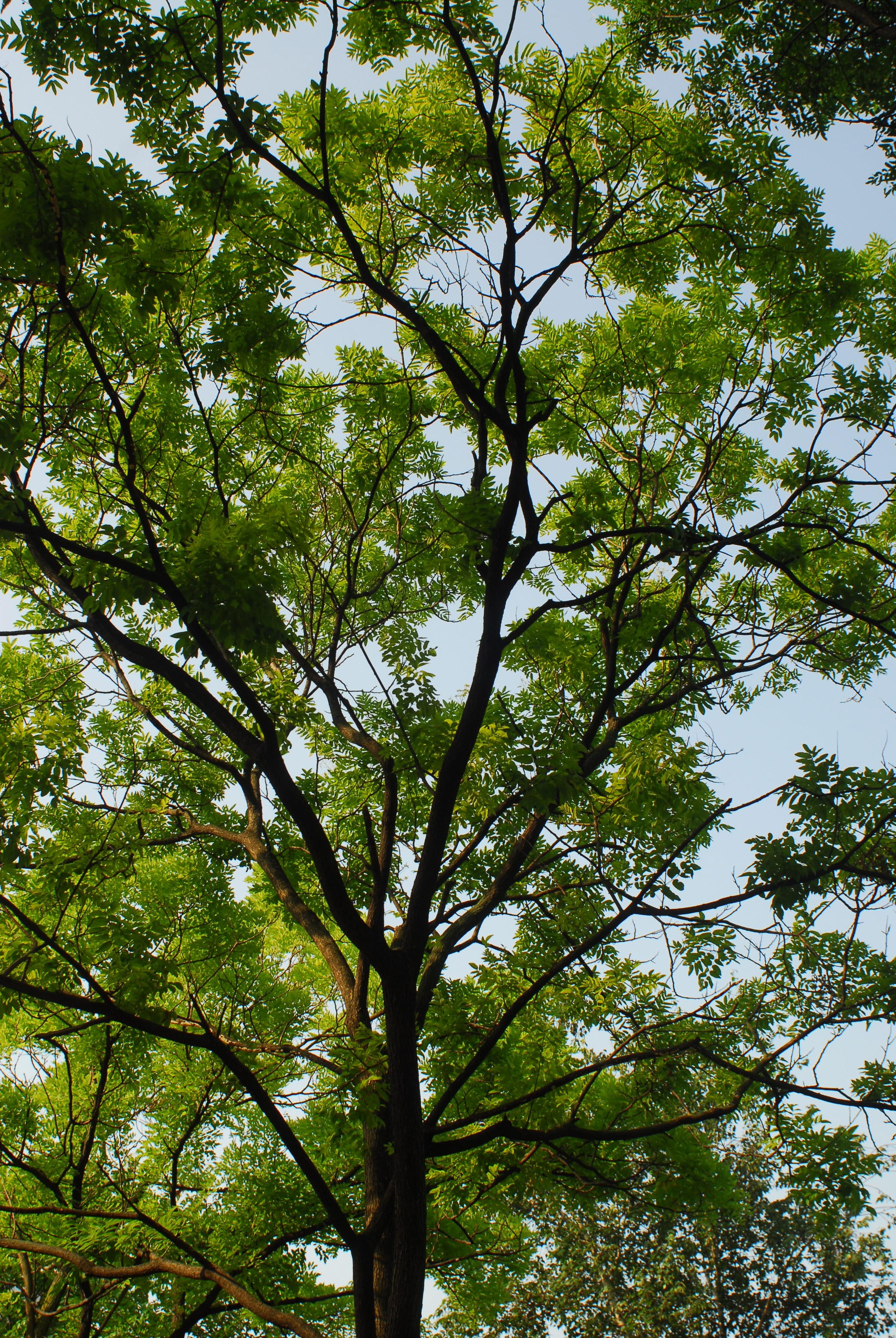 숨겨둔 '일장춘몽', 회화나무 - 소박한 꽃, 정갈한...