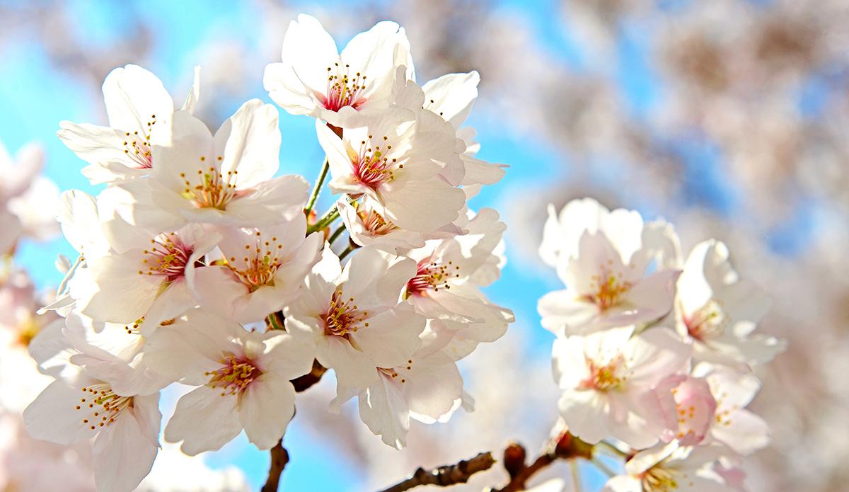 연분홍 벚꽃 그늘 짙게 드리운 창원의 봄 - 진해군...