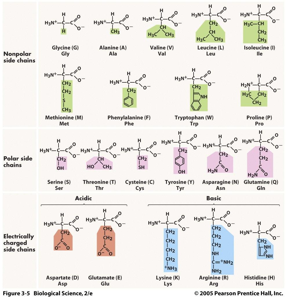 생명과학과 함께하는 학습노트 Amino acids