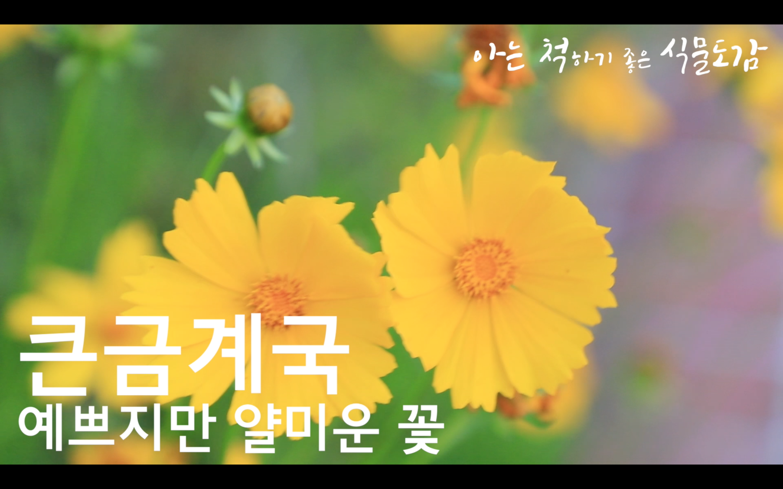 큰금계국 - 예쁘지만 얄미운 꽃