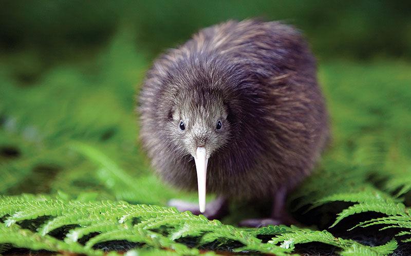 왜 뉴질랜드 사람을 키위(Kiwi)라 부르는 걸까?