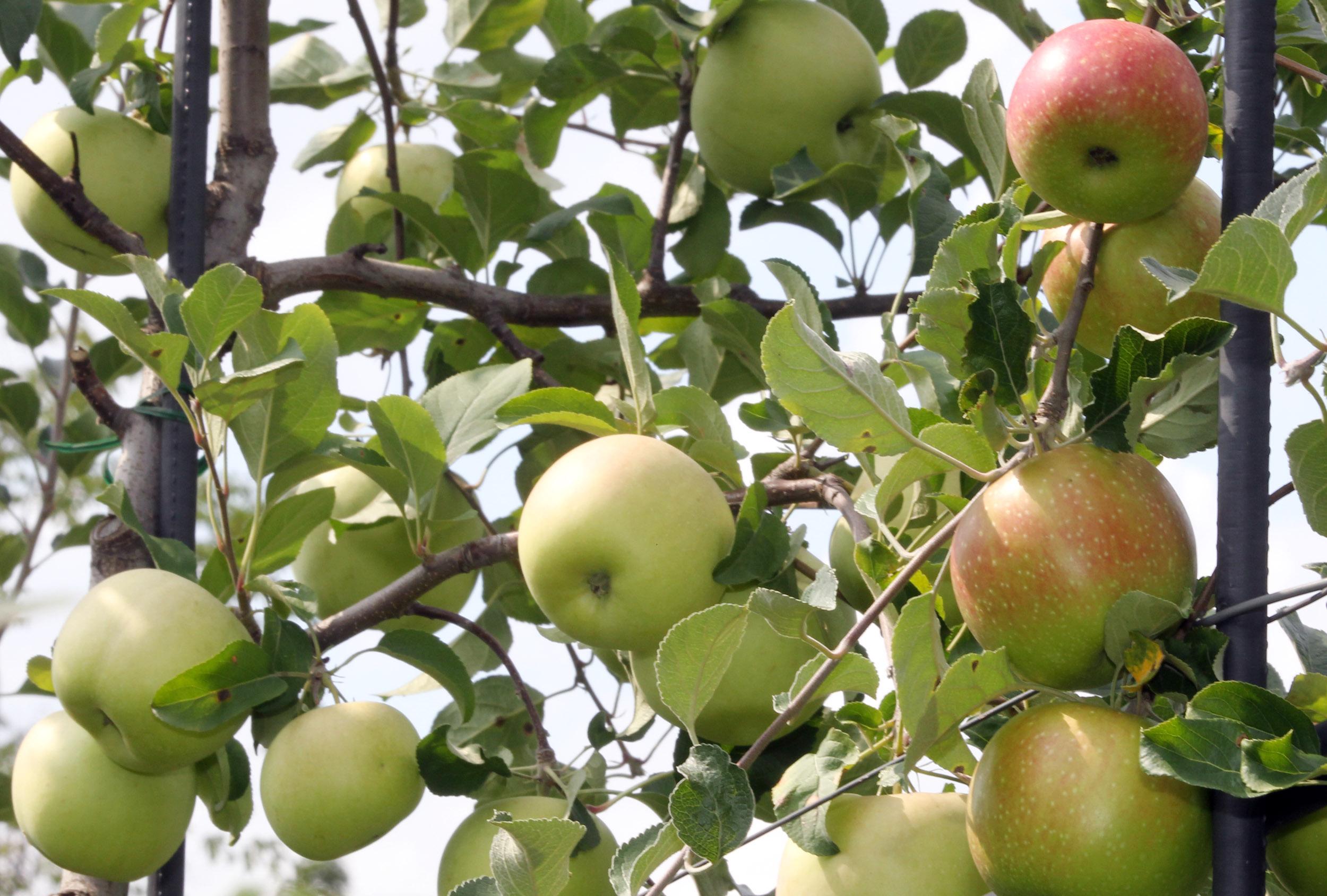 사과 (apple)