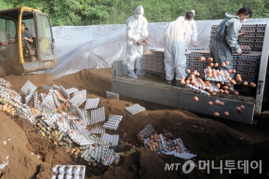 17일 오후 강원도 철원군의 한 농장에서 방역당국이 살충제 성분이 검출된 계란을 폐기하고 있다./사진제공=뉴스1