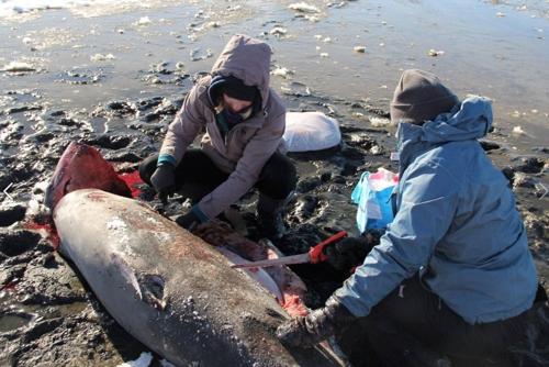 상어 샘플을 채취하는 보호단 [출처 : 대서양백상아리보호단 페이스북]