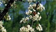 배나무의 꽃