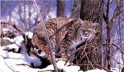 북아메리카에 사는 아메리카야생고양이