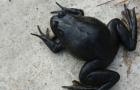 바다를 건넌 황소개구리..'유부도'가 위험하다