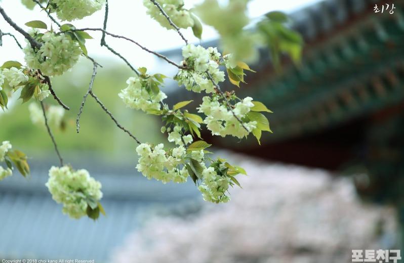 [포토친구] 개심사 청벚꽃