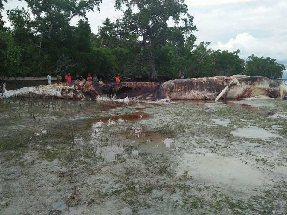 인도네시아에서 발견된 고래사체
