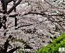 [포토친구] 부산의 벚꽃길
