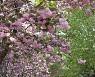 겹벚꽃 만개한 화목원