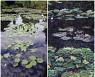 모네의 수련, 어느 것이 그림이고 어느 것이 사진일까요?