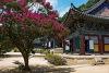 김천 직지사 배롱나무