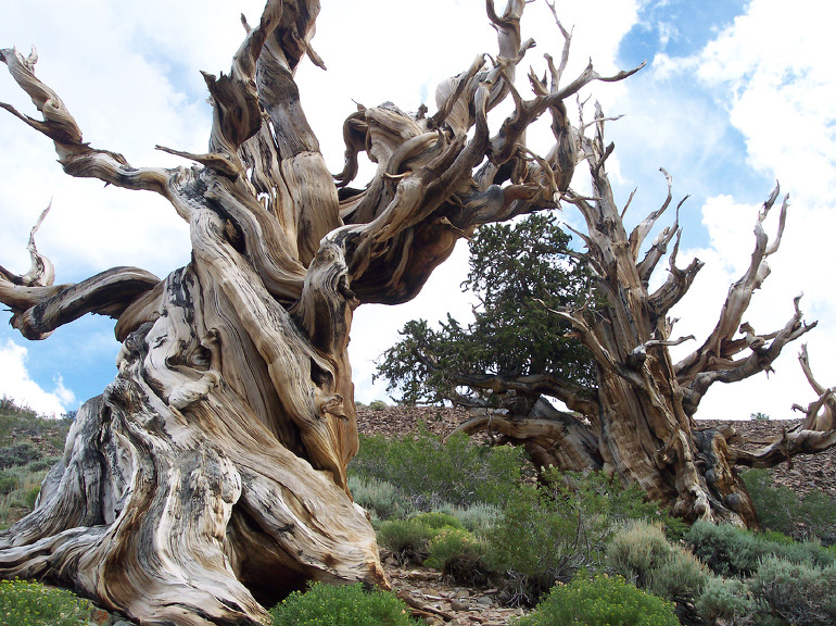 oldest living tree in the world