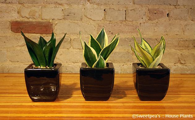 포카리스웨트, 포카리, 이온음료, 식물, 겨울, 겨울 식물, 겨울에 키우기 좋은 식물, 집에서 키우기 좋은 식물, 산세베리아, 아이비, 꽃, 다육식물, 다육이, 시클라멘
