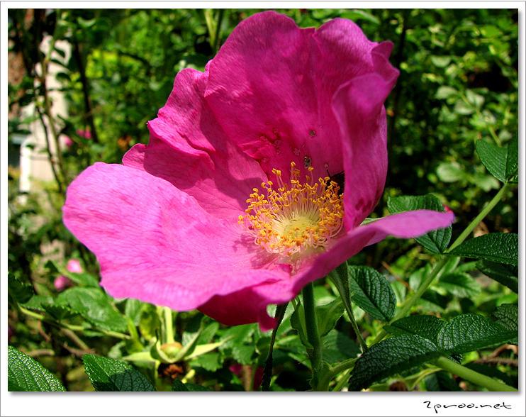 꽃 사진, 꽃사진, 매괴화, 사진, 수화, 한용운, 한용운 해당화, 한용운선생, 해당화, 해당화 가시, 해당화 가시 사진, 해당화 꽃, 해당화 꽃 사진, 해당화 꽃사진, 해당화 나무, 해당화 나무 사진, 해당화 사진, 해당화 이미지, 해당화꽃