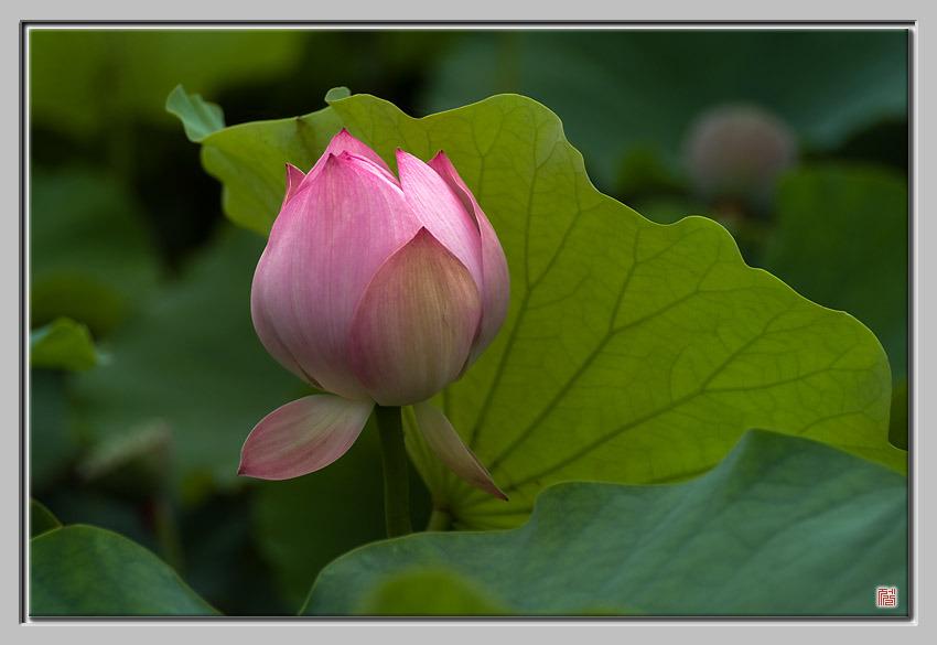 [Fuji s5pro] Red lotus
