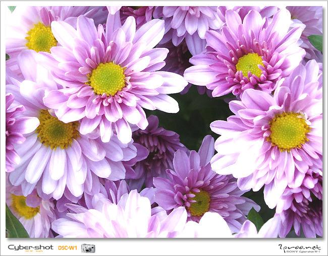 가을 사진, 가을꽃 사진, 국화, 국화 꽃, 국화 사진, 국화꽃, 국화꽃 사진, 국화사진, 사진