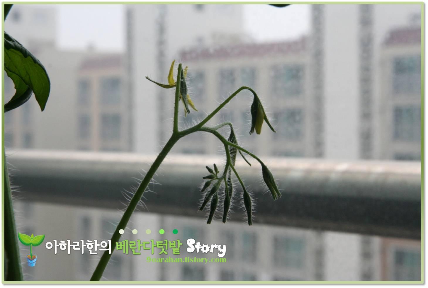 01-[방울토마토 키우기] 베란다텃밭에서 방울토마토 키우기 결실을 맺고 있어요.