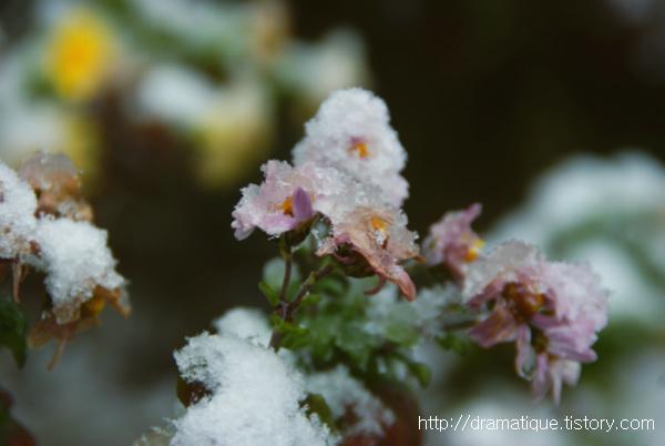설국-雪菊