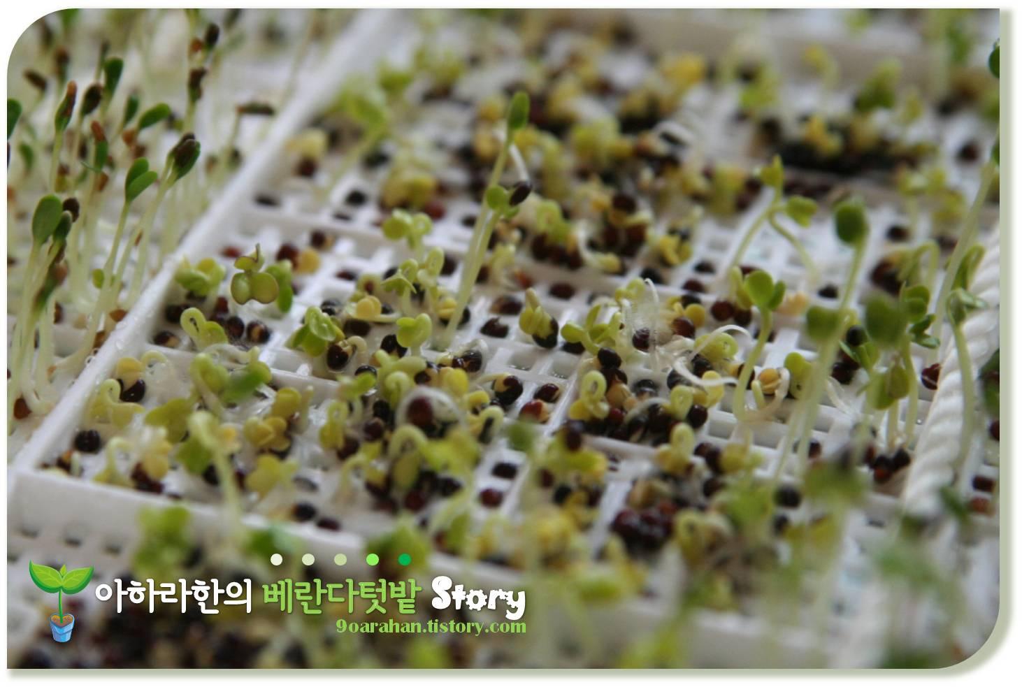 [새싹채소기르기] 구입한 새싹채소재배기 VS 재활용 새싹채소재배기로 새싹채소기르기