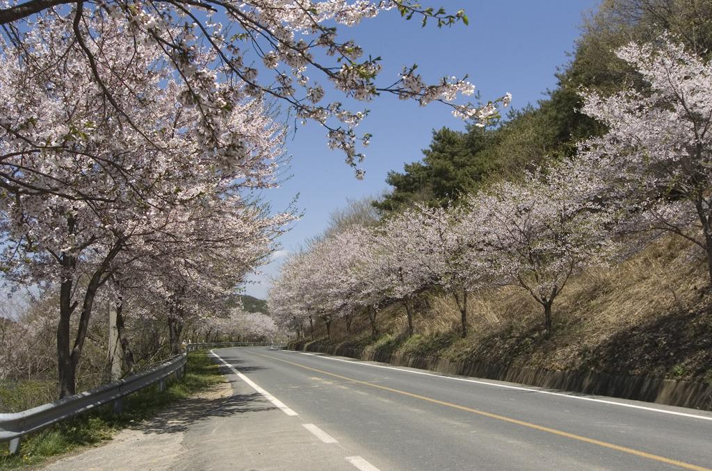 보령 오창항 가는 벚꽃길