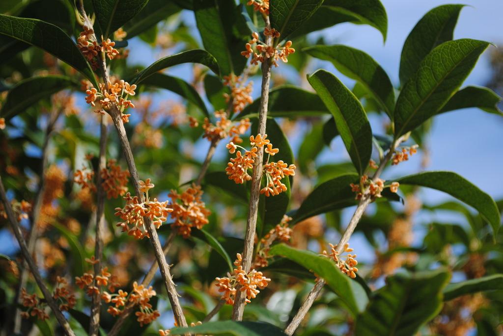향기 좋은 꽃을 가진 나무