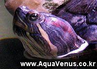 청거북, 붉은귀거북, RES, 파충류, 반수생 거북