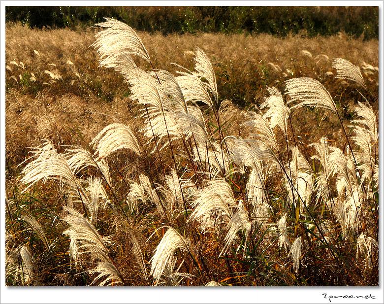 가을 사진, 가을 풍경 사진, 갈대 사진, 갈대밭, 갈대밭 사진, 갑천 갈대밭, 갑천 상류, 대전, 대전 갑천 사진, 멋진 풍경사진, 사진, 코스모스, 코스모스 사진, 풍경사진, 갑천의 가을,
