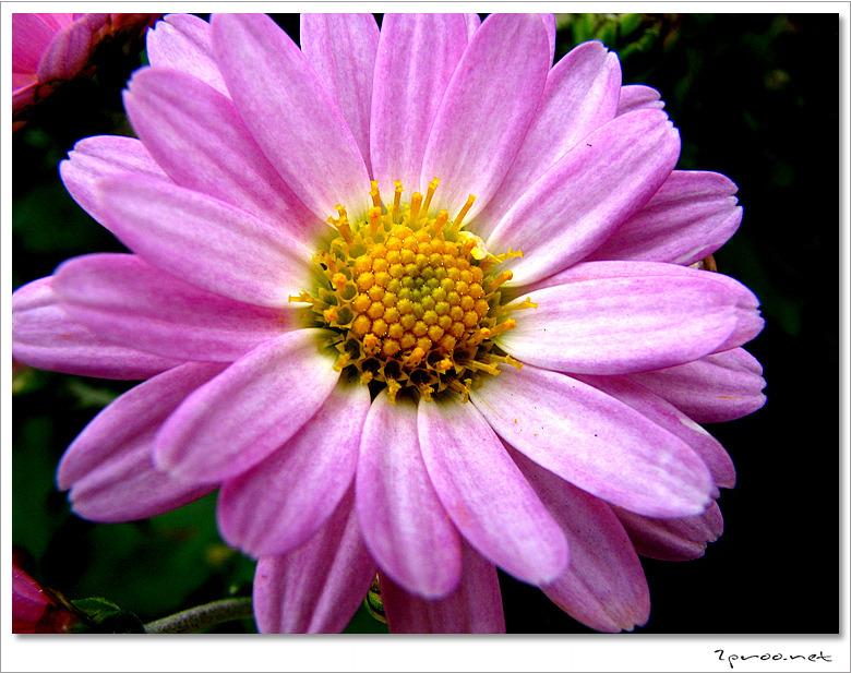 가을 국화 사진, 국화꽃 사진