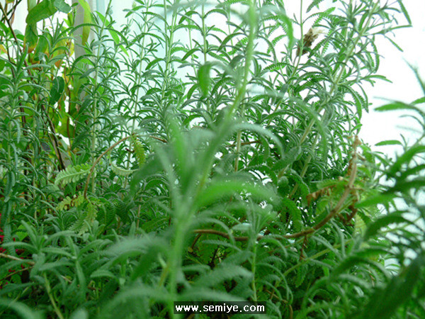 애완식물-식물-허브-로즈마리-라벤더-세이지-아파트 베란다-식물