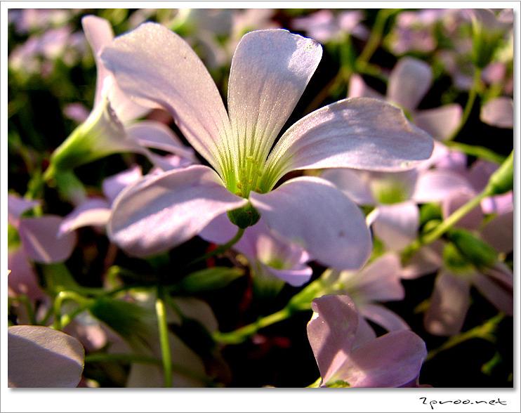 사랑초 꽃 사진, 옥살리스