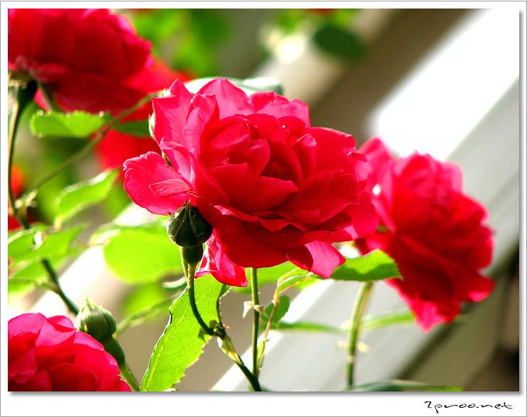 붉은색 장미꽃