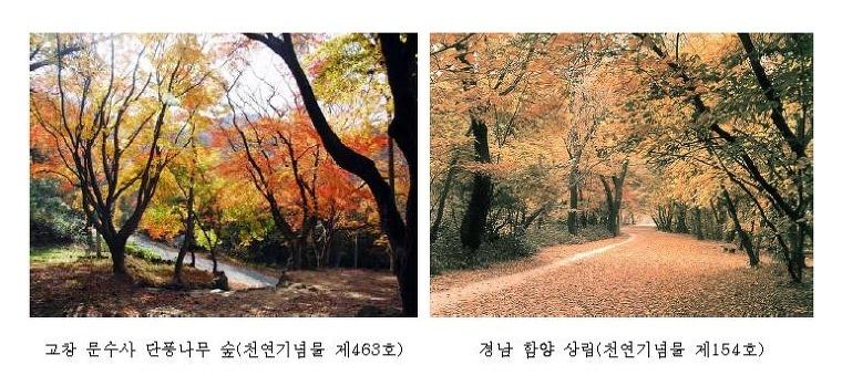 고창문수사 단풍나무숲. 경남 함양 상림
