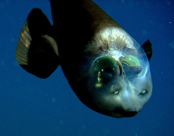 In this image, you can see that, although the barreleye is facing downward, its eyes are still looking straight up.